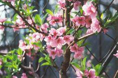 Fantasia Nectarine (Prunus persica 'Fantasia') at Connon Nurseries CBV