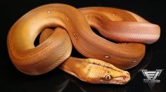 2015 Dwarf Golden Child OGS Female Reticulated Python