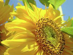 Sunflower Field art print Yellow Sun Flower Floral Baslee Photograph  - Sunflower Field art print Yellow Sun Flower Floral Baslee Fine Art Print