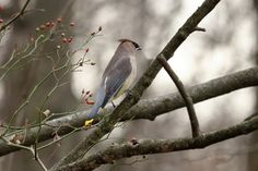 Cedar Waxwing looking across the woods on a cool autumn day. There a red wild rose hips next to the bird.