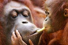 Female orangutan with her baby. Primates - humans, examples, body, animals, part, Lower primates ...