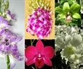 Dendrobium - Orchids - Flowers by category | Sierra Flower Finder