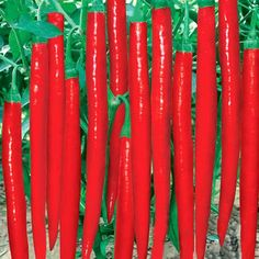 Super Giant Long Chili Seed Red Hot Pepper Organic Seeds Planting Eatable for sale online Organic Seeds, Organic Plants, Healthy Vegetables, Fruits And Vegetables, Long Hot Peppers, Bonsai, Banana Seeds, Bamboo Seeds, Cheap Clean Eating