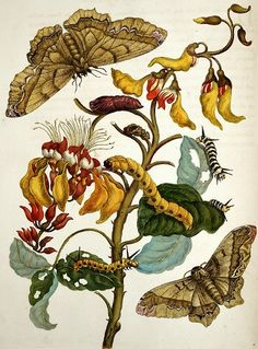 by Maria Sibylla Merian from Metamorphosis Insectorum Surinamensium, 1705
