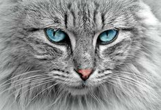 Hypoallergenic cats are great for people who suffer from cat allergies. That's because hypoallergenic cat breeds produce low levels of cat allergens. Cute Kittens, Cats And Kittens, Baby Kittens, Hypoallergenic Cats, Cat Stretching, Cat With Blue Eyes, Green Eyes, Photo Chat, Norwegian Forest Cat