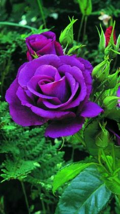 Beautiful Purple Flowers (Care & Growing Tips) Purple flowers are a great way to add interest to your yard or landscape. See some of our favorite purple garden flowers! All Flowers, Exotic Flowers, My Flower, Pretty Flowers, Growing Flowers, Foto Rose, Roses Photography, Bloom, Purple Garden