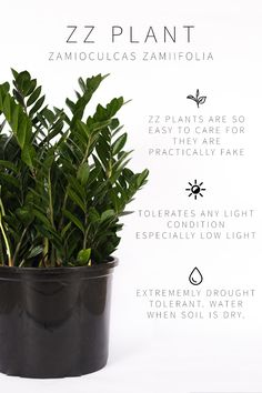 A Complete Guide to Lighting For Your Indoor Plants Quiz Vintage Revivals Low Light Bright Indirect Full Sun learn what plant lighting means and the plants that thrive in them Understand the lighting conditions in YOUR home houseplants plantlighting Zz Plant Care, Snake Plant Care, Rubber Plant Care, House Plant Care, Plantas Indoor, Low Light Plants, Plant Lighting, Cactus Y Suculentas, Low Lights