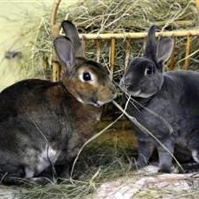 Rusty is looking for a home with his gorgeous girlfriend Dusty. They are lovely rabbits once they get to know you. They are looking for their new home to have a large hutch or shed with a 10ft by 5ft run attached to it. http://www.woodgreen.org.uk/rehome/small_animals/8044_rusty