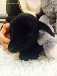 sweetpea baby goat saved from atrocious backyard butcher