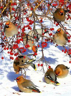 Cedar Waxwings in the Snow