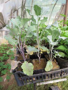 Ortolano a 30 anni: Belli questi broccoletti rossi estivi