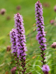 Originally found growing wild in the American prairie, Liatris, or blazing star, is now a top pick for hot, sunny gardens: http://www.bhg.com/gardening/flowers/perennials/power-perennials/?socsrc=bhgpin042414liatris&page=16