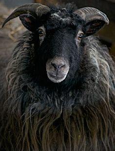 Farm Animals, Animals And Pets, Cute Animals, Beautiful Creatures, Animals Beautiful, Baa Baa Black Sheep, Sheep Art, Sheep And Lamb, Counting Sheep