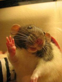 101 Dumbo Rats: Cute and Funny - meowlogy Funny Rats, Cute Rats, Cute Funny Animals, Cute Baby Animals, Animals And Pets, Strange Animals, Animal Quotes, Animal Memes, Rats Mignon