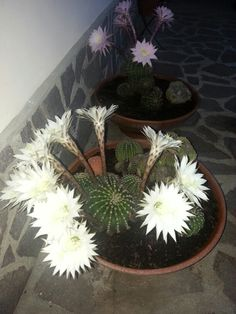 Fiori di cactus