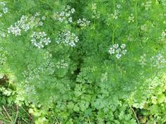 Cilantro slo-bolt seeds (Coriander seeds) | Baker Creek Heirloom Seed Co - (Coriandrum sativum) This is a slow bolting version of Cilanto/Coriander that produces flavorful leaves over a longer period.