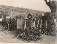 A apanha da espadana noTermo da Lagoa Portugal, Portuguese, Grande, Islands, Roots, Costumes, Vacation, Country, Pictures