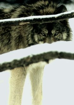 ☀Gray Wolf