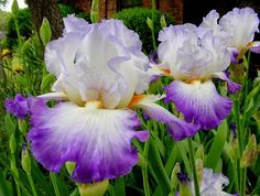 World of Irises: Tall Bearded Iris Color Terms