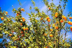 Narancsfa érett gyümölcsök a napfény. Vízszintes lövés — Stock Kép #83241146