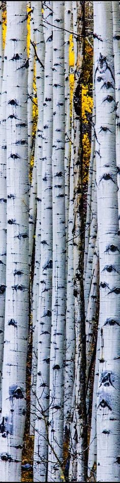 Aspen Trees - Long, Tall, Vertical Pins.