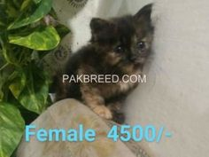 Pakbreed - Sell and Buy top breeds in Pakistan National Animal, Buy Birds, Buy Pets, Beautiful Cats, Livestock, Persian, Pakistan, Things To Sell, Dogs
