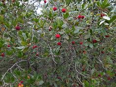 Arbutus unedo - Strawberry Tree - 'Marina' reaches 30 ft tall and wide and has superior fruits (but is only for Zone See listing under Shor Arbutus Tree, Arbutus Unedo, Strawberry Tree, Plant Pictures, Evergreen Shrubs, Growing Tree, Small Trees, Botanical Gardens, Plants