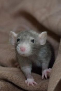 cute little rat Animals And Pets, Baby Animals, Cute Animals, Strange Animals, Beautiful Creatures, Animals Beautiful, Animal Pictures, Cute Pictures, Dumbo Rat