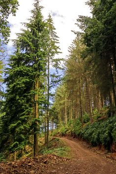 ***Trail in Dunster Forest [includes Douglas firs native to the Pacific Northwest of North America] (Somerset, England) by Tony Murtagh cr.c.