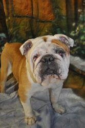 Spanky del Fuego is an adoptable English Bulldog Dog in Pelham, NH. Spanky is a lean mean kissing machine! He is a nine year old English Bull dog, but still very young at heart. His favorite pass time...