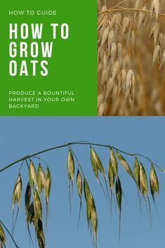 Growing Grass, Growing Seeds, Gardening For Beginners, Gardening Tips, Cat Grass, Crop Rotation, Bountiful Harvest, Seeds Online, Permaculture