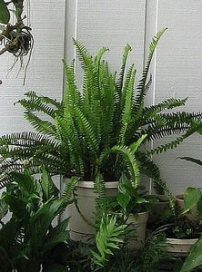 How to Propagate Boston Fern | eHow.com