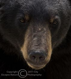 Limited Edition Nature Art Print. Friend or Foe? -- Black Bear. Wildlife photograph:  Bears, Neys Provincial Park, Ontario, Canada, Black Bear, Bear