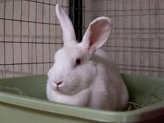 BAMBI is an adoptable New Zealand Rabbit in Boston, MA.