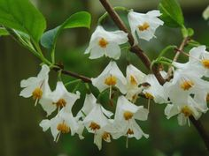 Halesia carolina  (Snowdrop tree) -  beautiful tree native to the United States, Halesia carolina has clusters of three to five, pendulous, white flowers with a golden center and delicate scent in late spring. The flowers usually appear on fairly young plants and are borne on branches of one year old wood. Fantastic, branching flowering small tree, ideal for border planting or growing as a standalone specimen!