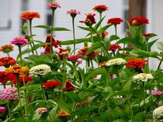 Cut and Come Again zinnias grow easily from seed, and provide countless bouquets all summer!