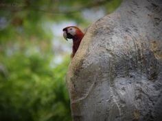 Scarlet macaw Guacamayas Biological Station