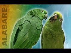 Loros que cantan ASOMBROSAMENTE - Compartelo! Loro Real Amazonico