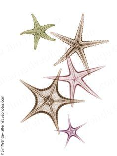 X-ray photos of seashells and starfish. by Jim Wehtje, via Behance