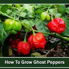To Grow Ghost Peppers - the hottest peppers on the planet! To Grow Ghost Peppers - the hottest peppers on the planet! Garden Types, Garden Fun, Ghost Pepper Plants, Growing Peppers, Ghost Peppers, Pepper Seeds, Hottest Chili Pepper, Grow Your Own Food, Stuffed Hot Peppers