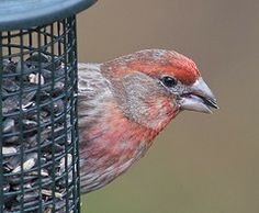 House finches, once know as Hollywood finches, were illegally brought to New York in the 1940s from the western US. Now they have adapted to all parts of the country.