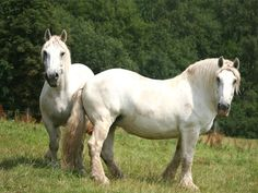 The Percheron, a French breed of heavy draft horses, is known for possessing good muscular development together with style, grace, and activity. Big Horses, White Horses, Pretty Horses, Beautiful Horses, Percheron Horses, Arabian Stallions, Pig Breeds, Horse Breeds, Horse Pictures