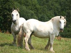 Percheron Horses | Percheron horse breed information