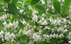 American Snowbell (styrax americana) - grows best in wet/moist acidic soil with some shade, large shrub (up to 10 feet tall with similar spread)
