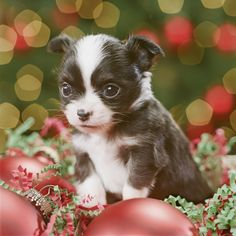 14 Ways to Create A Puppy-Safe Christmas: Puppies will find trouble, especially around the holidays. Keep decorations out of paw-reach.