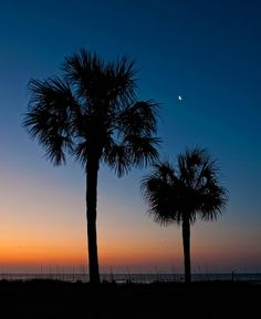 South Carolina Palmetto Trees