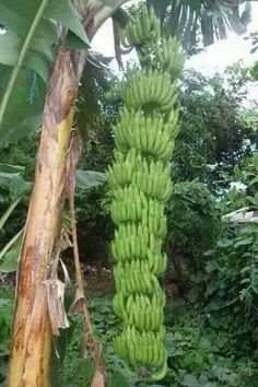 Pé de banana