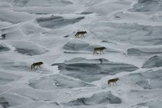 pack of Isle Royale wolves on frozen Lake Superior. MI