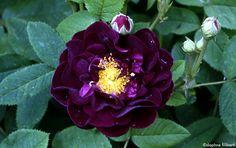 'Tuscany' a Gallica rose | Daphne Filiberti