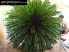 PlantFiles: Picture #1 of Cycad, Japanese Sago Palm, King Sago Palm, Sago Cycas, Sago Palm 'Aurea' (Cycas revoluta)